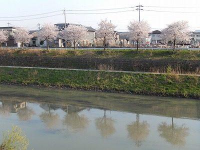 2017.4.14 おおぞら近くの桜13