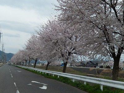 2017.4.10 おおぞら近くの桜10