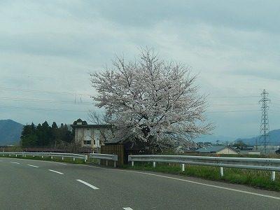 2017.4.10 おおぞら近くの桜