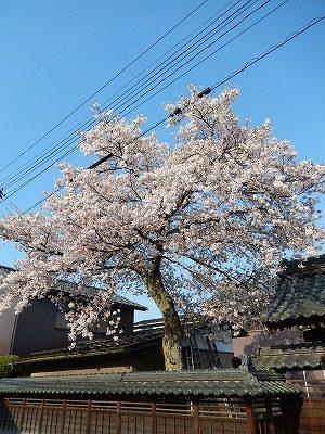 2017.4.14 おおぞら近くの桜15