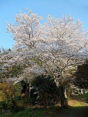2017.4 禅林寺さん桜2