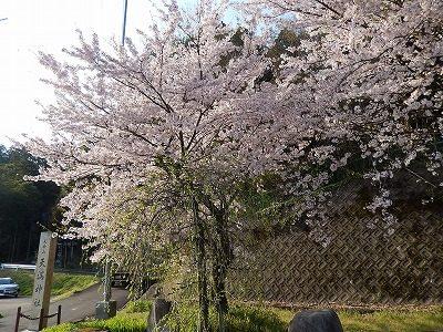 2017.4.14 おおぞら近くの桜2