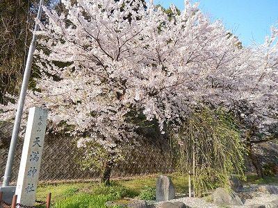 2017.4.14 おおぞら近くの桜