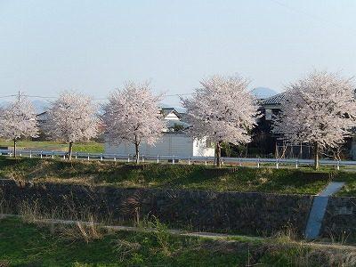 2017.4.14 おおぞら近くの桜7
