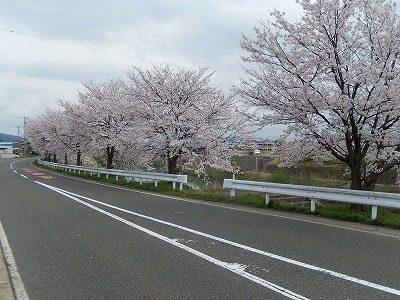 2017.4.10 おおぞら近くの桜9