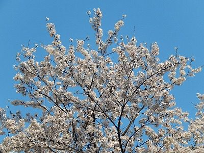 2017.4 禅林寺さん桜4