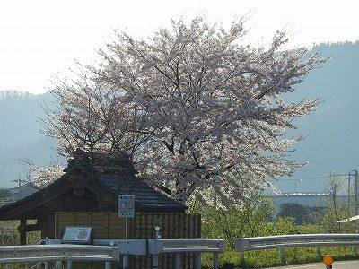 2017.4.14 おおぞら近くの桜3