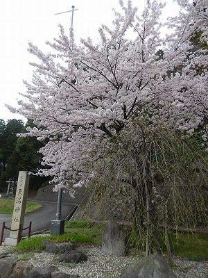 2017.4.10 おおぞら近くの桜4