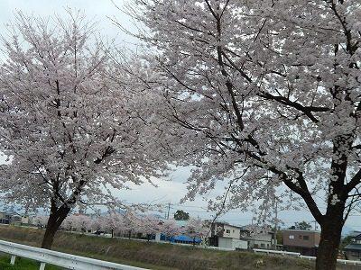 2017.4.10 おおぞら近くの桜11