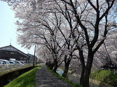 2017.4 吉野瀬川の桜3