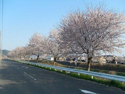 2017.4.14 おおぞら近くの桜10