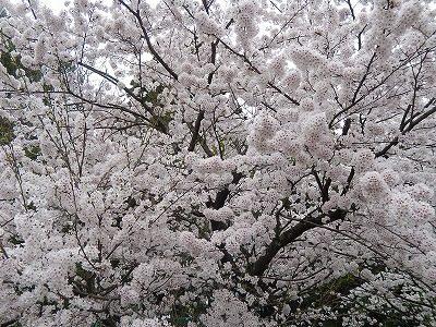 2017.4.10 おおぞら近くの桜8