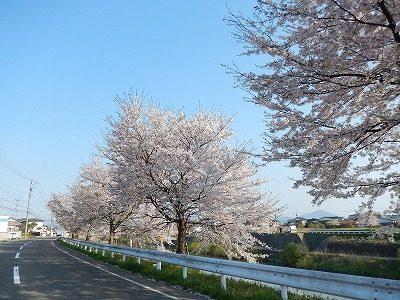 2017.4.14 おおぞら近くの桜9