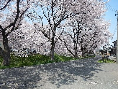 2017.4 吉野瀬川の桜