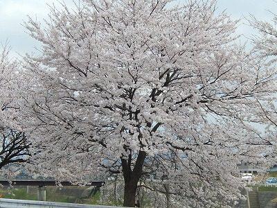 2017.4.10 おおぞら近くの桜12