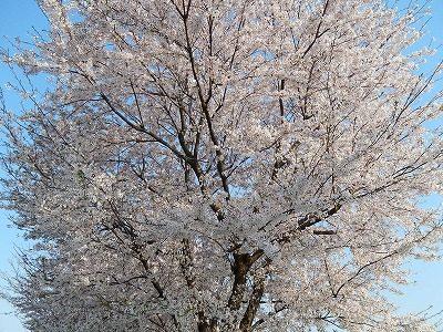 2017.4.14 おおぞら近くの桜14