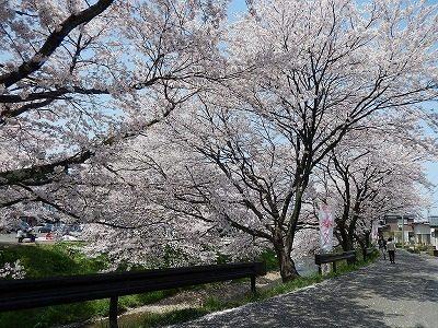 2017.4 吉野瀬川の桜2