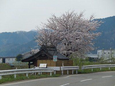 2017.4.10 おおぞら近くの桜2