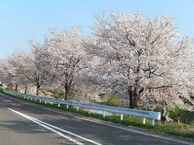 2017.4.14 おおぞら近くの桜4