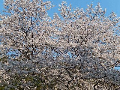 2017.4 禅林寺さん桜3