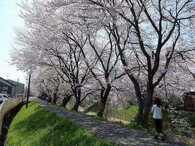 2017.4 吉野瀬川の桜4
