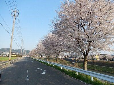2017.4.14 おおぞら近くの桜11