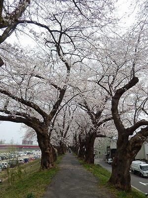 2018.4.2 足羽川の桜9