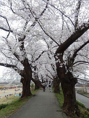 2018.4.2 足羽川の桜11
