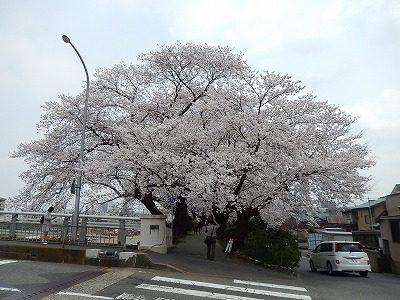 2018.4.2 足羽川の桜8