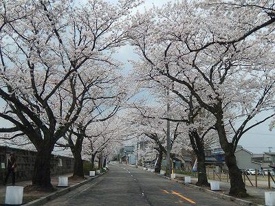 2018.4.2 旧三秀プール前の桜3