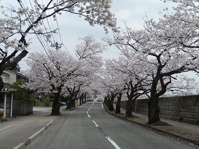 2018.4.2 旧三秀プール前の桜7