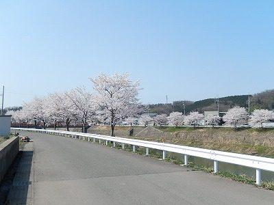 2018.4.3 おおぞら近くの桜4