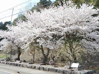2018.4.3 おおぞら近くの桜34