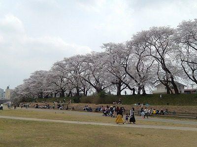 2018.4.2 足羽川の桜7