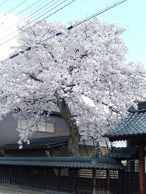 2018.4.3 おおぞら近くの桜26