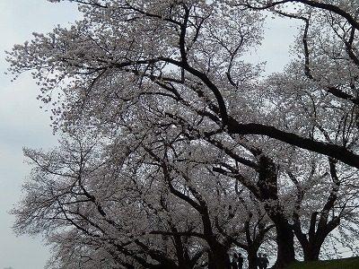 2018.4.2 足羽川の桜16