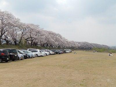 2018.4.2 足羽川の桜4