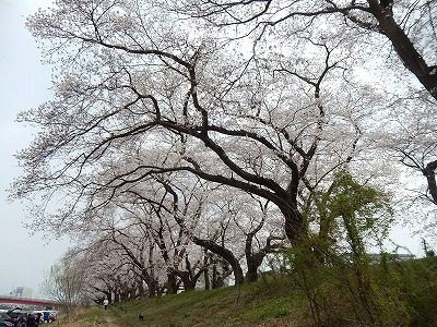 2018.4.2 足羽川の桜12