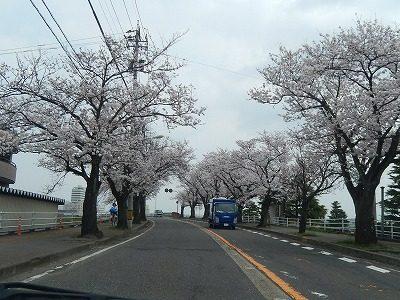 2018.4.2 さくら通りの桜