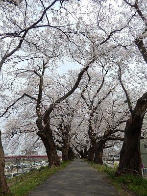 2018.4.2 足羽川の桜10