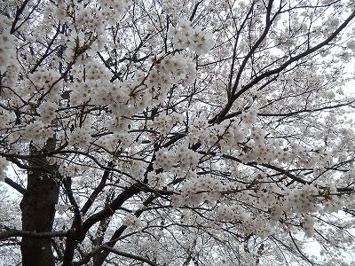 2018.4.2 足羽川の桜15