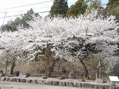 2018.4.3 おおぞら近くの桜33