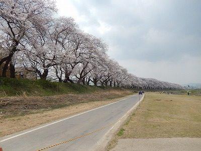 2018.4.2 足羽川の桜5