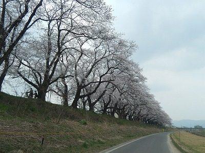 2018.4.2 足羽川の桜6