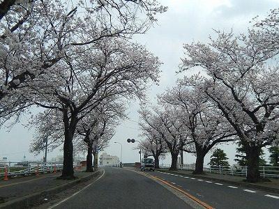 2018.4.2 さくら通りの桜2