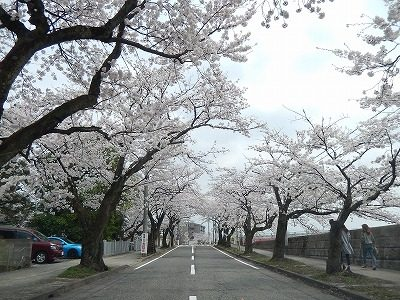 2018.4.2 旧三秀プール前の桜9