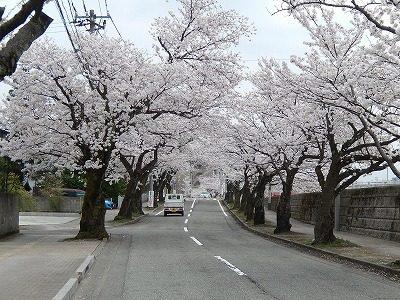 2018.4.2 旧三秀プール前の桜6