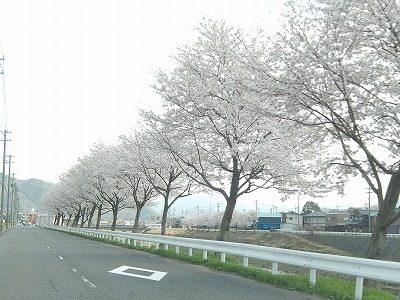 2018.4.3 おおぞら近くの桜14