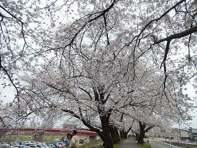 2018.4.2 足羽川の桜13
