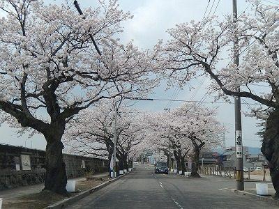 2018.4.2 旧三秀プール前の桜2